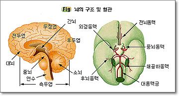 뇌 1.jpg