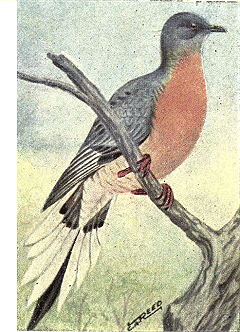 Reed-passenger-pigeon.png