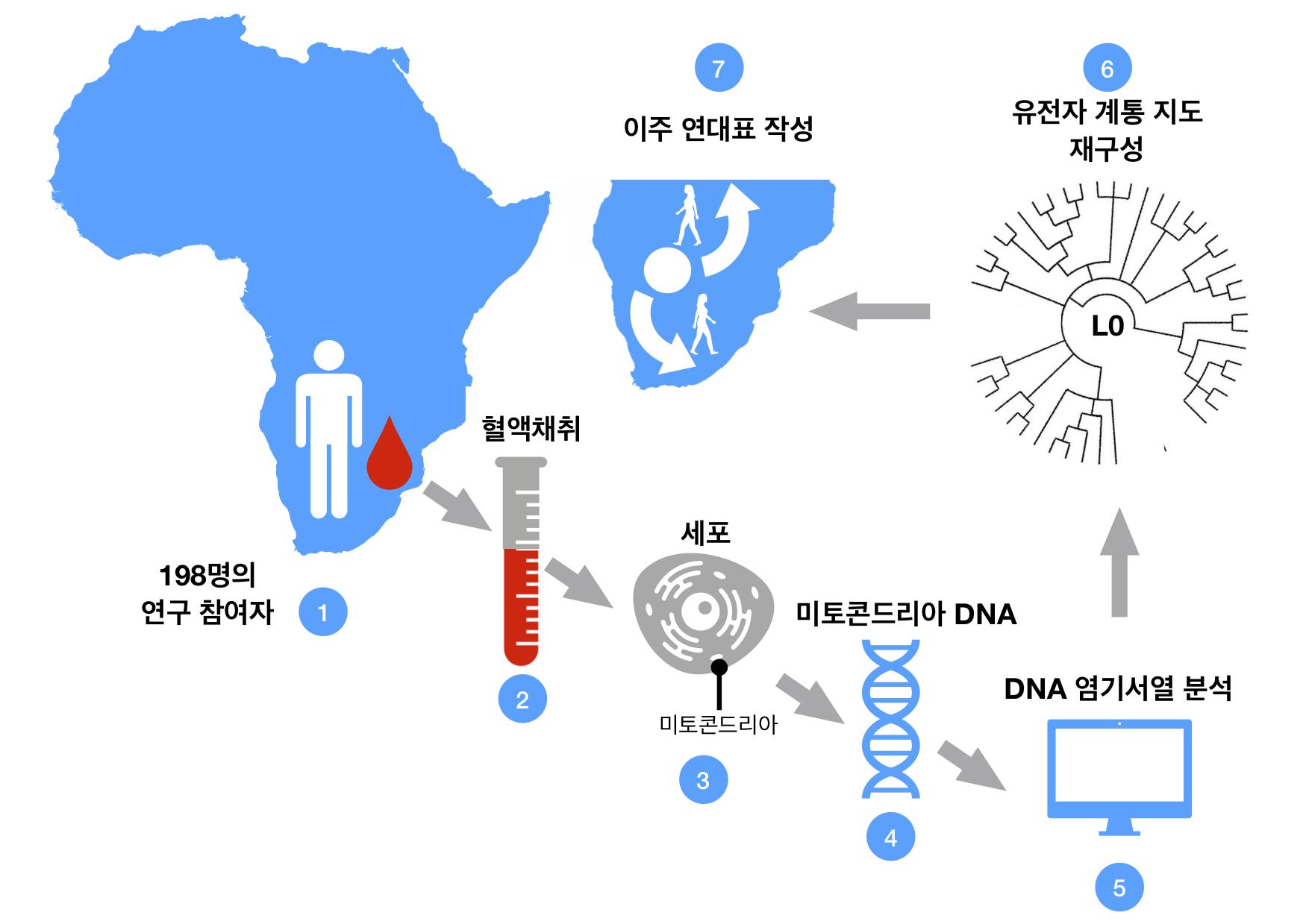사본 -그림1_혈액 샘플로부터 L0 유전자 뿌리를 추적하는 과정_(IBS 제공).jpg