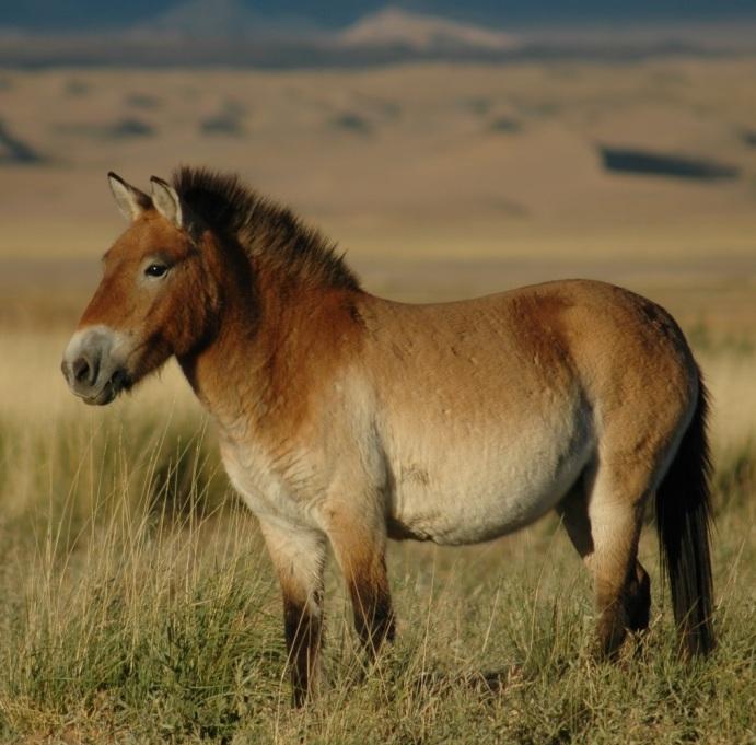 horse-Przewalskis_horse_02.jpg