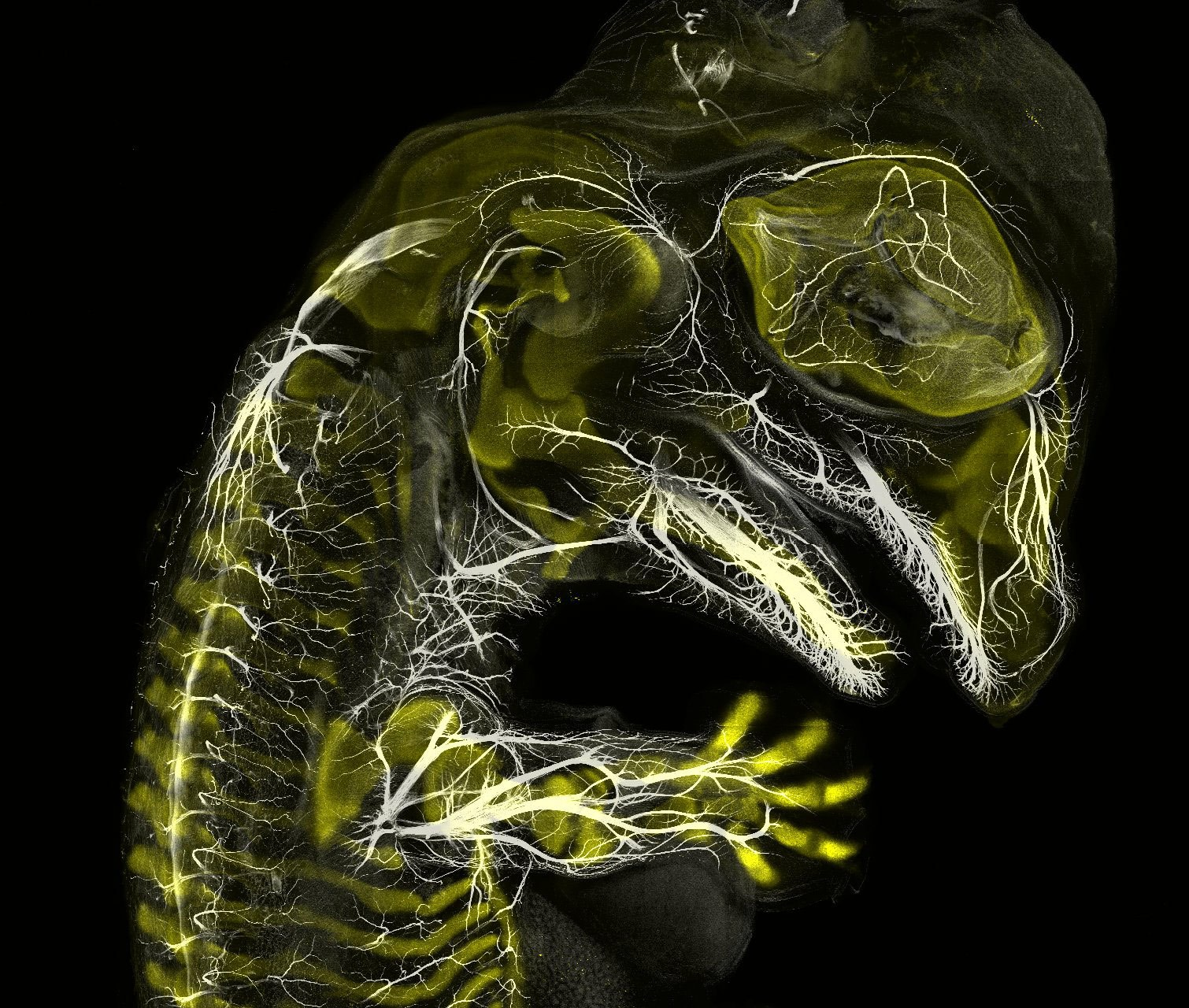 n3-alligator-embryo-stage-13-nerves-and-cartilage.jpg