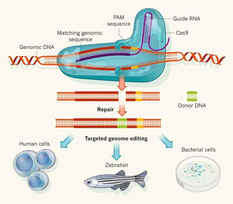 CAS9-Genome-Editing.jpg