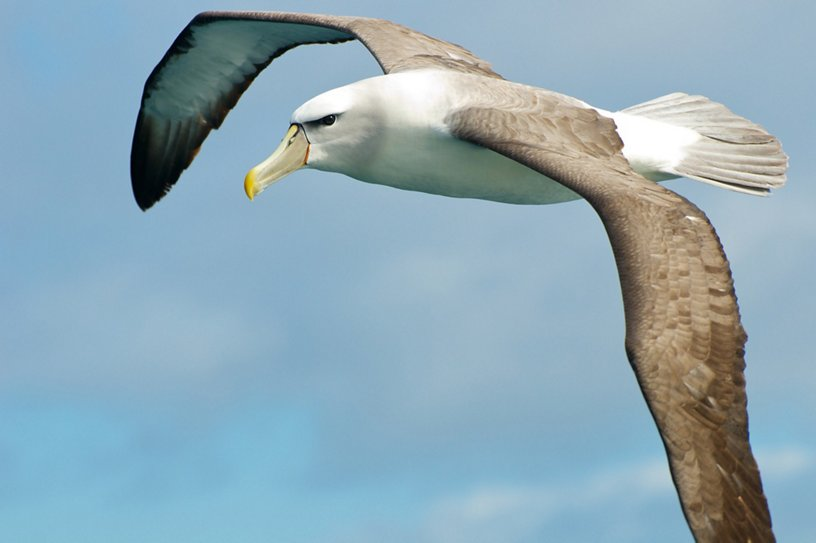 albatross-is-inspiring-next-generation-of-aircraft-wings (2).jpg