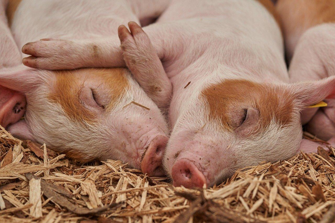 gene-piglet-3386356_1280.jpg