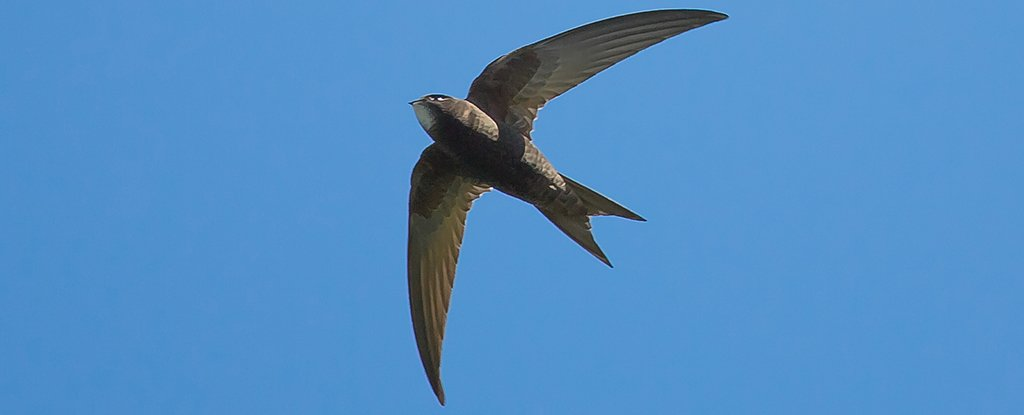 common-swift_1024.jpg