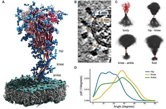 spike-coronavirusspeedy-19-8-2020-image2-lr.jpg