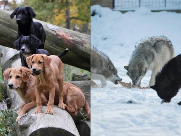 sn-wolvesdogsH.jpg
