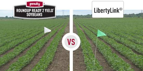 rr2-soybeans-libertylink-comparison.jpg