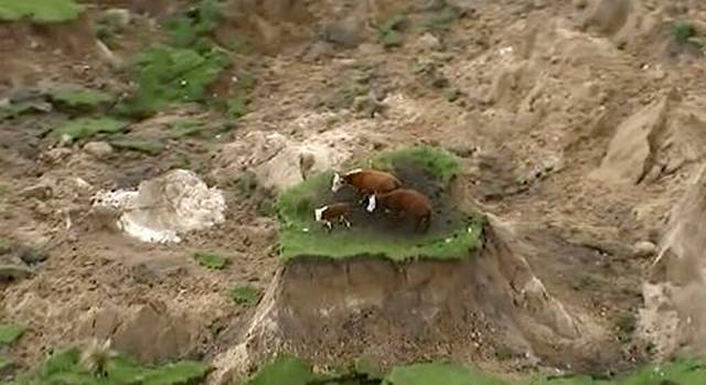 nz-earthquake-cows-ap-video.jpeg