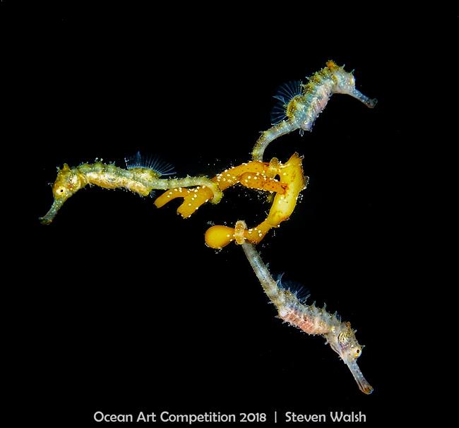 w5Mirrorless-Macro_Steven_Walsh_Three-Baby-Seahorses.jpg