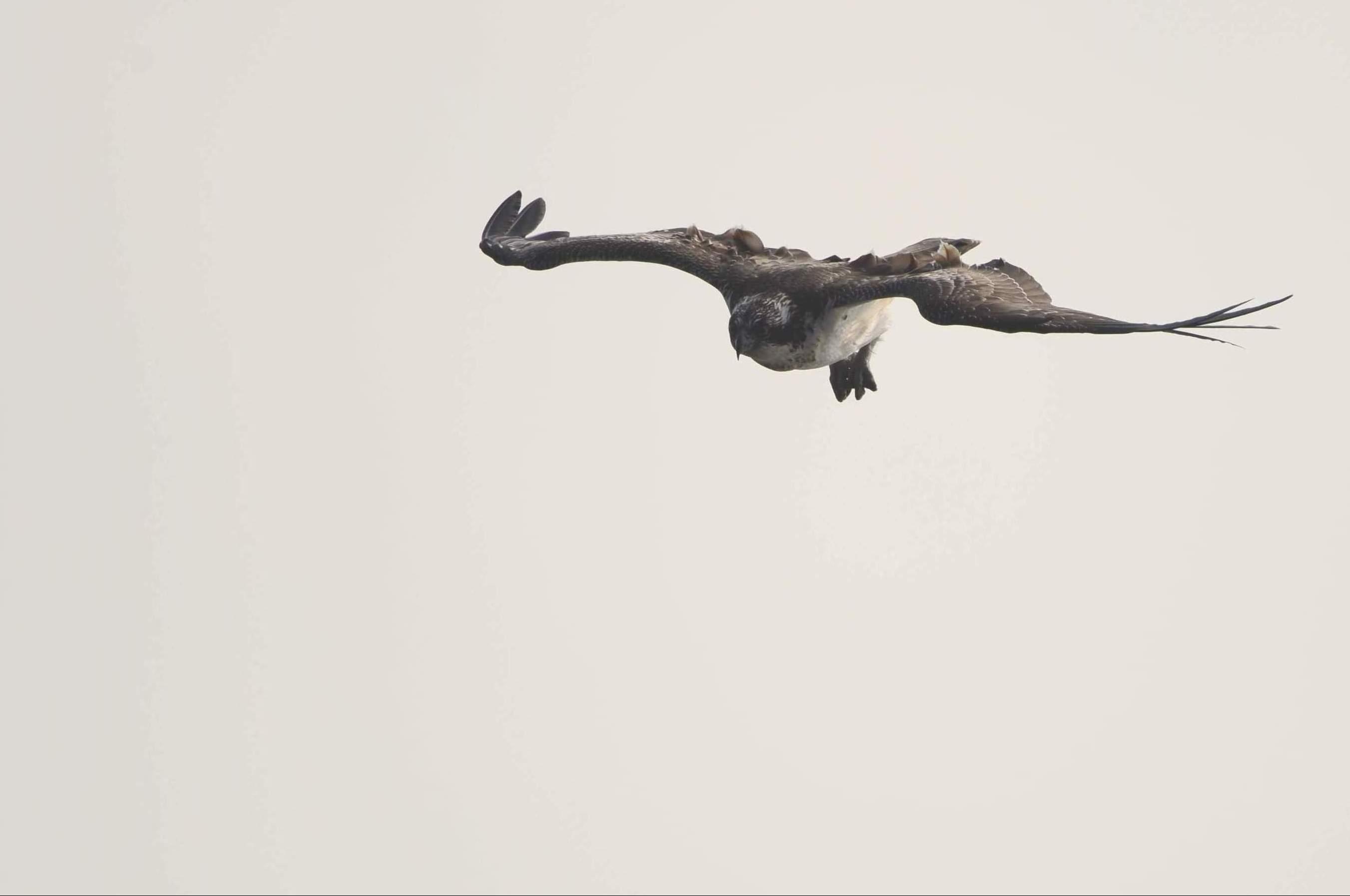 osprey05.JPG