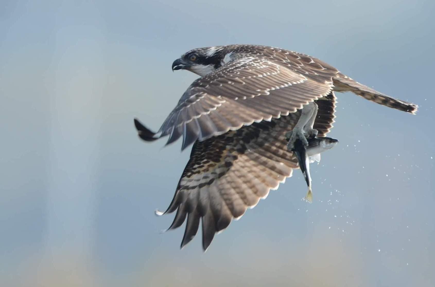 osprey13.JPG