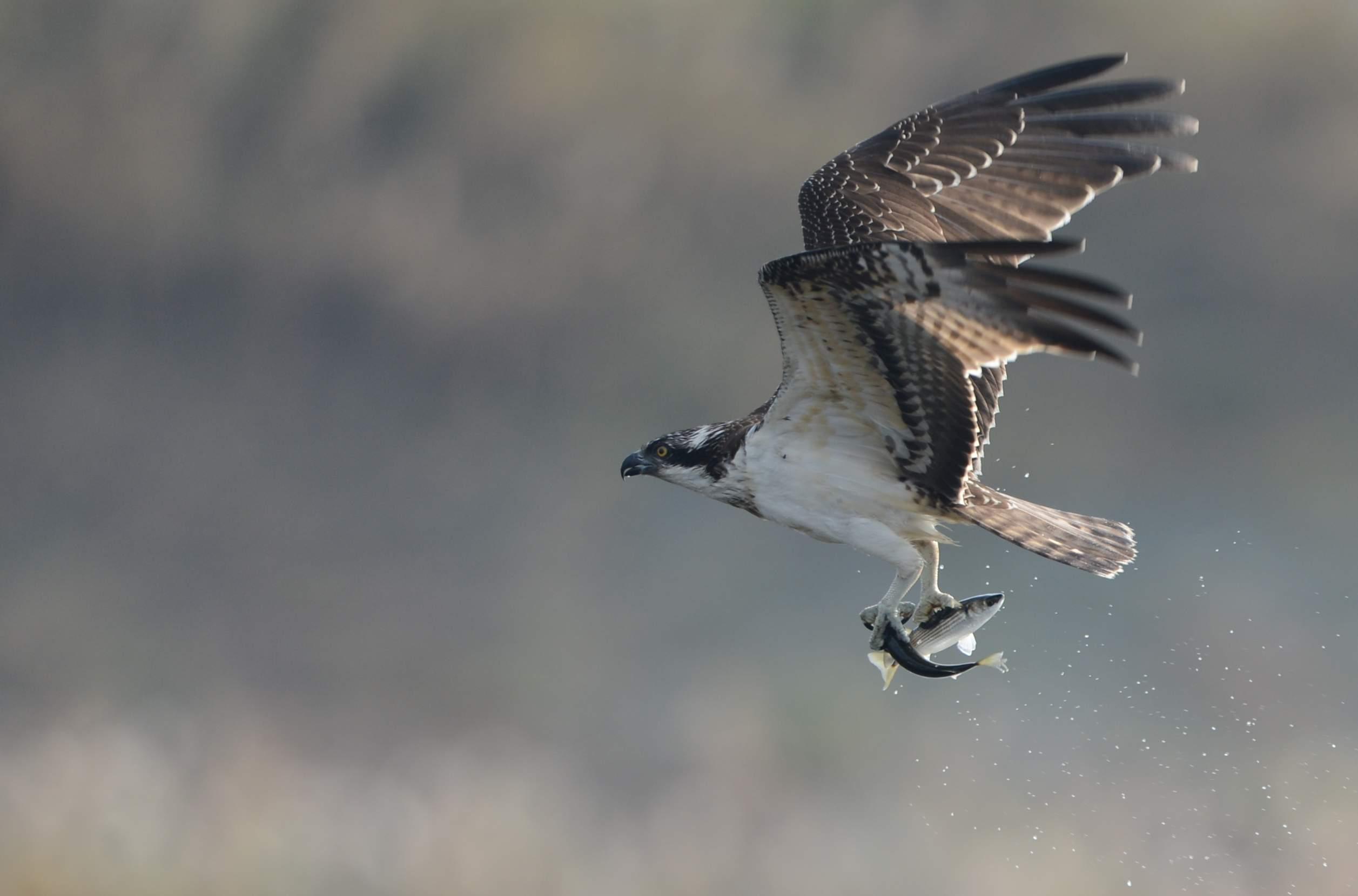 osprey15.JPG