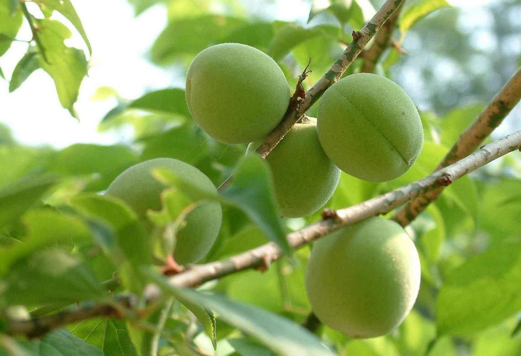 Prunusmume.JPG